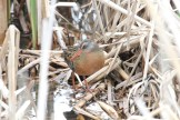 Virginia Rail, Mendon Ponds (© D. Sherony)