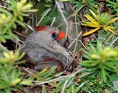 Northern Cardinal on nest © Chuck Schleigh