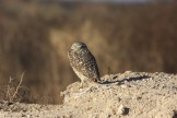 Burrowing Owl - Arizona © Dominic Sherony