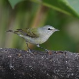 Tennessee Warbler © Dominic Sherony