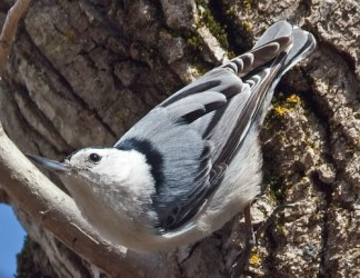 White-breasted Nuthatch - Mendon Ponds Park, NY © Jay Greenberg