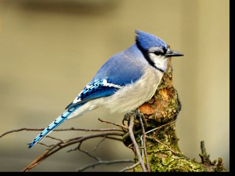 Blue Jay - Pittsford, NY © Richard Ashworth