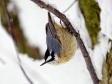 Red-breasted Nuthatch - Pittsford, NY © Richard Ashworth