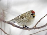 Common Redpoll - Pittsford, NY © Richard Ashworth