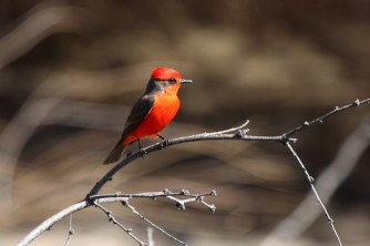 Vermillion Flycatcher - Arizona © Dominic Sherony