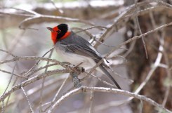 Red-faced Warbler - Arizona © Dominic Sherony