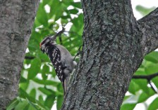 Hairy Woodpecker - Pittsford - © Dick Horsey - July 04, 2015