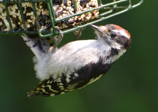 Downy Woodpecker (Juv) - Webster - © Peggy Mabb - July 04, 2015