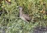 Whimbrel - Irondequoit Bay Outlet - © Joe Wing - July 15, 2015