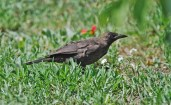 Common Grackle (Juv) - Irondequoit Bay Outlet - © Dick Horsey - July 16, 2015