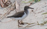 Spotted Sandpiper - Irondequoit Bay Outlet - © Dick Horsey - July 17, 2015