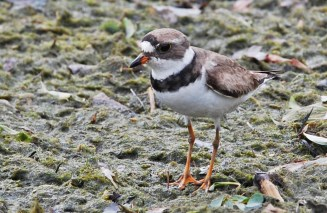 Semipalmated Plover - Irondequoit Bay Outlet - © Dick Horsey - July 17, 2015