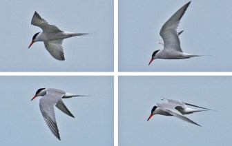 Common Tern - Irondequoit Bay Outlet - © Dick Horsey - July 18, 2015