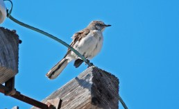 Northern Mockingbird - Irondequoit Bay Outlet - © Dick Horsey - July 20, 2015