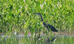 Great Blue Heron (Juv) - High Acres Nature Area - © Dick Horsey - July 23, 2015