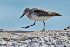 Semipalmated Sandpiper - Summerville Pier - © Dick Horsey - Aug 02, 2015