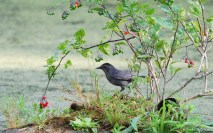 Gray Catbird - Whiting Rd Nature Preserve - © Dick Horsey - Aug 04, 2015