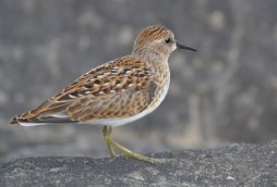 Least Sandpiper - Summerville Pier - © Peggy Mabb - Aug 08, 2015