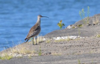 Whimbrel - Summerville Pier - © Peggy Mabb - Aug 13, 2015