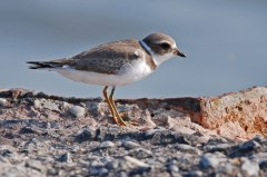 Semipalmated Plover - Summerville Pier - © Dick Horsey - Aug 19, 2015