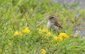 Chipping Sparrow (RBA Field Trip) - Montezuma NWR - © Dick Horsey - Aug 22, 2015