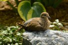 Mourning Dove - Rochester - © Vern Lindberg - Aug 24, 2015