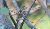 Chipping Sparrow (Juv) - Highland Park - © Dick Horsey - Aug 28, 2015