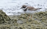 Semipalmated Plover - Hamlin Beach Park - © Dick Horsey - Aug 30, 2015