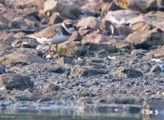 Semipalmated Plover - Lakeside Beach Park - © Dick Horsey - Sep 03, 2015
