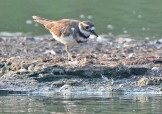 Killdeer - Lakeside Beach Park - © Dick Horsey - Sep 03, 2015