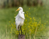 Great Egret - Montezuma NWR - © Paul English - Sep 05, 2015