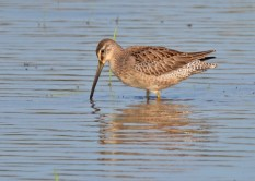 Long-billed Dowitcher - Montezuma NWR - © Dick Horsey - Sep 05, 2015