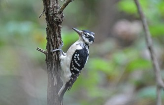 Hairy Woodpecker - Corbett's Glen Park - ©Dick Horsey - Sep 09, 2015