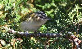 Red-eyed Vireo - Durand Park - © Dick Horsey - Sep 14, 2015