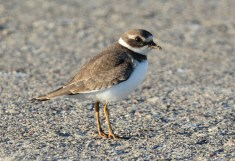 Semipalmated Plover - Summerville Pier - © Dick Horsey - Sep 14, 2015