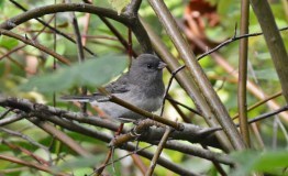 Dark-eyed Junco - Lakeview Church Trail - © Dick Horsey - Sep 25, 2015