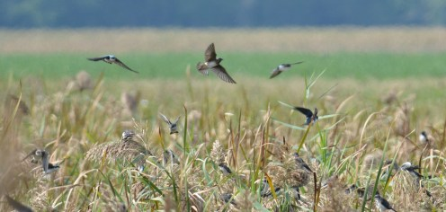 Rough-winged (C) and Tree Swallows - Montezuma NWR (RBA Field Trip) - © Dick Horsey - Sep 26, 2015