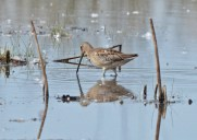 Long-billed Dowitcher - Montezuma NWR (RBA Field Trip) - © Dick Horsey - Sep 26, 2015