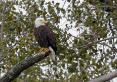 Bald Eagle - Montezuma NWR - © Dana Kalir - Oct 02, 2015