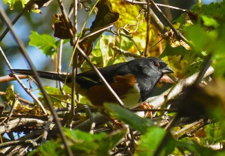 Eastern Towhee - Oatka Creek Park - © Jim Adams - Oct 04, 2015