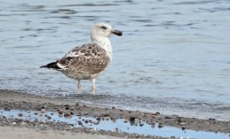 Great Black-backed Gull - Hamlin Beach Park - © Dick Horsey - Oct 05, 2015