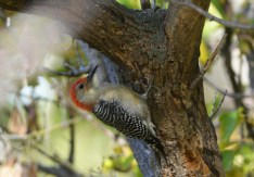 Red-bellied Woodpecker - Whiting Road Preserve - © Dick Horsey - Oct 10, 2015