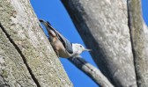 White-breasted Nuthatch - Whiting Road Preserve - © Dick Horsey - Oct 10, 2015