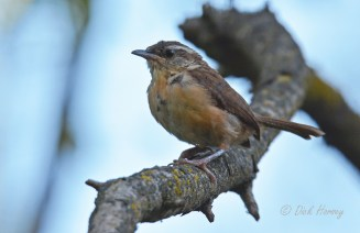 Carolina Wren - Pittsford RR Loop Trail - © Dick Horsey - Oct 12, 2015
