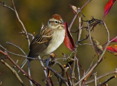 Chipping Sparrow - Oatka Creek Park - © Jim Adams - Oct 16, 2015
