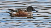 Northern Shoveler - Batavia WTP - © Dick Horsey - Oct 17, 2015