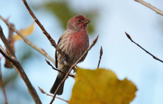 House Finch - High Acres Nature Area - © Dick Horsey - Oct 23, 2015