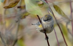 Yellow-rumped Warbler - High Acres Nature Area - © Dick Horsey - Oct 23, 2015