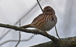 Song Sparrow - High Acres Nature Area - © Dick Horsey - Oct 23, 2015