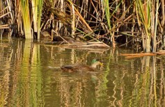 Green-winged Teal - Turning Point Park - © Vern Lindberg - Oct 23, 2015